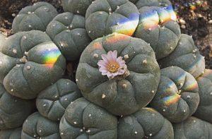 Un arcoiris sobre peyote, ejemplos de hongos y peyotes