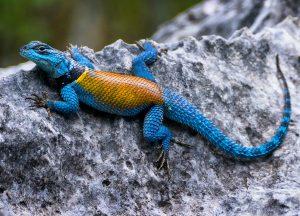 Imagen de iguana multicolor en la piedra, obra de Sam Carrera